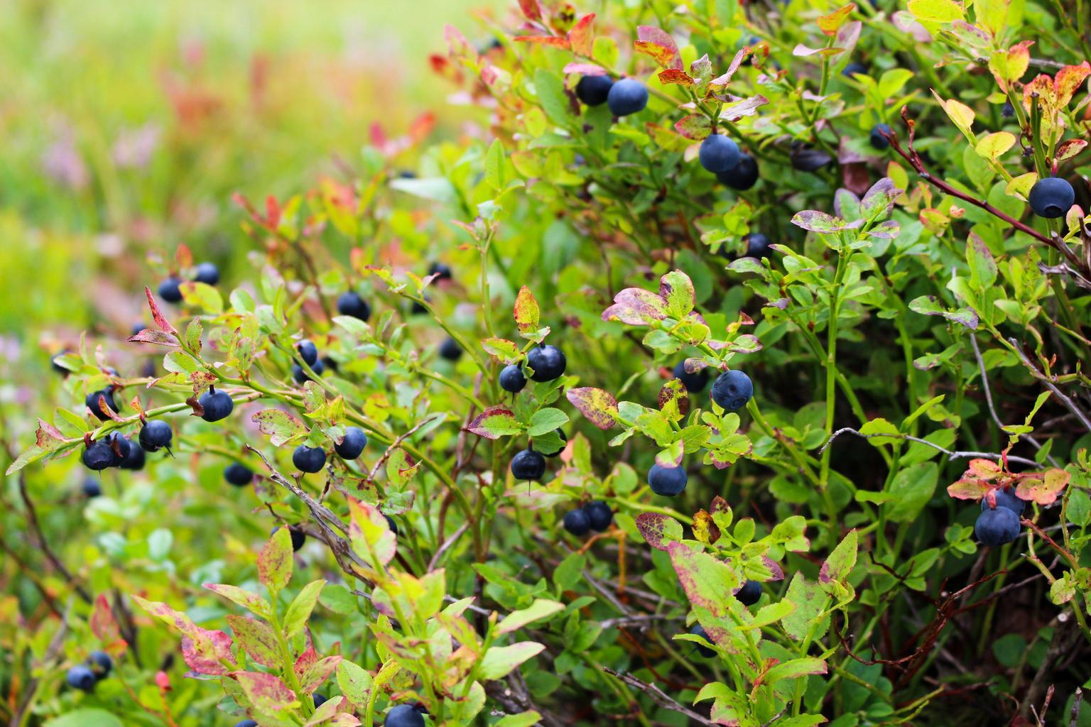 blueberries_heather_blueberry_plant
