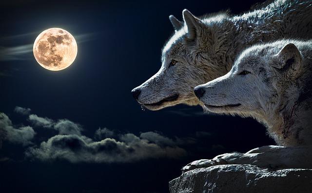 vlci a měsíc